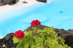 Jameos del agua. Geraniums in Jameos del agua in Lanzarote stock photography