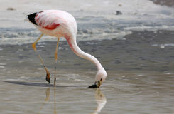 James Flamingo på Laguna Colorada & x28; Bolivia& x29; Royaltyfri Foto