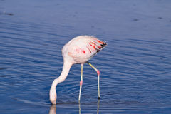 James` Flamingo Phoenicoparrus jamesi Royalty Free Stock Photos