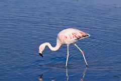 James` Flamingo Phoenicoparrus jamesi Stock Photo