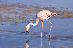 James` Flamingo Phoenicoparrus jamesi Royalty Free Stock Image