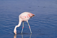 James` Flamingo Phoenicoparrus jamesi Stock Photography