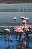 James flamingos close up. Laguna Hedionda. Potosí department. Bolivia Royalty Free Stock Photos