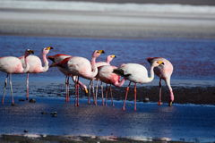 James flamingos at Laguna Colorada. Eduardo Avaroa Andean Fauna National Reserve. Bolivia Royalty Free Stock Photography