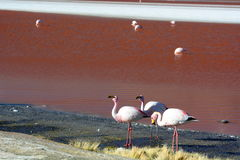James flamingos at Laguna Colorada. Eduardo Avaroa Andean Fauna National Reserve. Bolivia Royalty Free Stock Photo