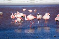 James flamingos at Laguna Colorada. Eduardo Avaroa Andean Fauna National Reserve. Bolivia. Laguna Colorada is a shallow salt lake in the southwest of the Stock Images