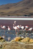 James flamingos at Laguna Colorada. Eduardo Avaroa Andean Fauna National Reserve. Bolivia Stock Photography