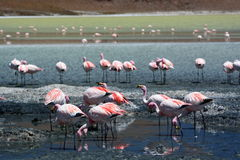 James flamingos at Laguna Hedionda. Potosí department. Bolivia Stock Photography