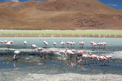 James flamingos at Laguna Hedionda. Potosí department. Bolivia Stock Image