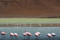 James flamingos at Laguna Hedionda. Potosí department. Bolivia Royalty Free Stock Photo