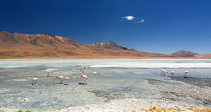 James flamingos at Laguna Hedionda. Potosí department. Bolivia Stock Images