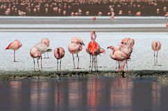 James flamingos, southern Bolivia Stock Photo
