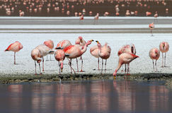 James flamingos, southern Bolivia Royalty Free Stock Photography