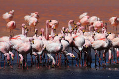 James flamingos, southern Bolivia Royalty Free Stock Photos
