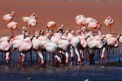 James flamingos, southern Bolivia Royalty Free Stock Photo