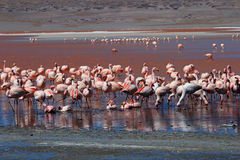 James flamingos, southern Bolivia Royalty Free Stock Image