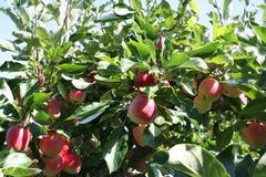 James Grieves-appelen op boom die aan gebruikt voor baksel zal worden genomen of slechts zal eten als snacks Royalty-vrije Stock Afbeeldingen
