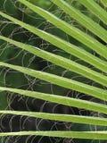 James, Palm Fronds, Washington Palm Royalty Free Stock Photography