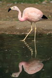 James's flamingo Stock Images