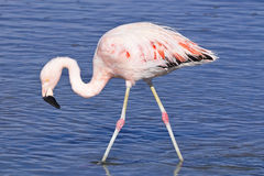 James`s flamingo Phoenicoparrus jamesi Stock Photo