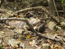 Jamesby Iguana Stock Photos