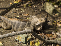 Jamesby Iguana 2 Stock Images