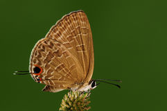 Jamides bochus /butterfly Royaltyfri Foto