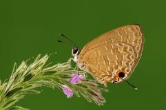 Jamides bochus, samiec, motyl/ fotografia stock