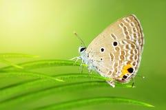 jamides caerulean del terreno comunale di celeno della farfalla Fotografia Stock