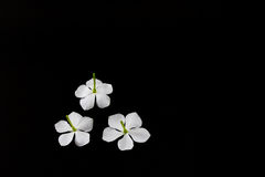 Jamin White Flowers Imagens de Stock Royalty Free