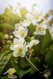 Jaśminowy kwiat Zdjęcia Royalty Free