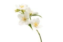 jaśminowy kwiat odizolowywający Zdjęcie Royalty Free