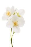 jaśminowy kwiat odizolowywający Zdjęcie Stock
