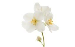 jaśminowy kwiat odizolowywający Fotografia Stock