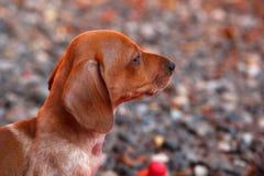 Jamnik jesieni sezonu Psi ogród Zdjęcie Royalty Free