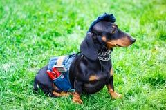 Jamnika pies Śliczny szczeniak na trawie fotografia stock