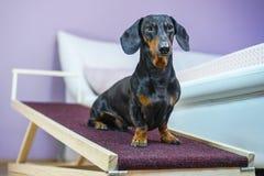 Jamnika pies, czarny i dębny, siedzi na domowej rampie Skrytka tylni zdrowie w małym psie obrazy stock