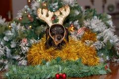 Jamnika pies jest ubranym Bożenarodzeniowych reniferowych poroże obrazy stock