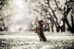 Jamnika pies skacze w górę pola w lesie w zdjęcia stock