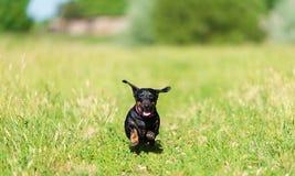 Jamnika pies w parku Fotografia Royalty Free