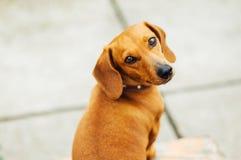 Jamnika pies w plenerowym Piękny jamnika obsiadanie w w Obrazy Royalty Free