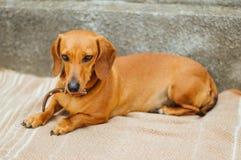 Jamnika pies w plenerowym Piękny jamnika obsiadanie w w Fotografia Stock