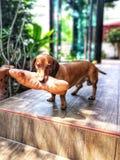 Jamnika psi mienie zabawka obrazy royalty free