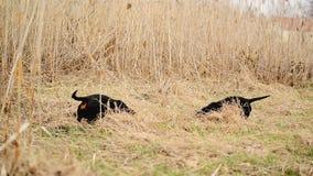 Jamnika psi polowanie dla gramocząsteczek w ogród ziemi zakrywającej z suchą trawą Handheld Równomierny materiał filmowy zbiory wideo