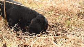 Jamnika psi polowanie dla gramocząsteczek w ogród ziemi zakrywającej z suchą trawą Handheld Równomierny materiał filmowy zbiory