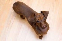 Jamnika szczeniak zamknięty w górę pet Śliczny pies odizolowywa fotografia royalty free