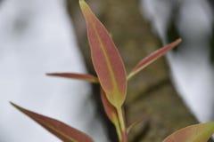 jamun树年轻叶子  库存照片