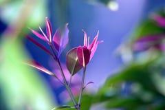 The New Leaves On JamunIndian Black PLum Tree royalty free stock photos