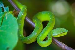 Jamy żmii wąż, Bako park narodowy Fotografia Royalty Free
