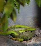 jamy zielona żmija Fotografia Stock